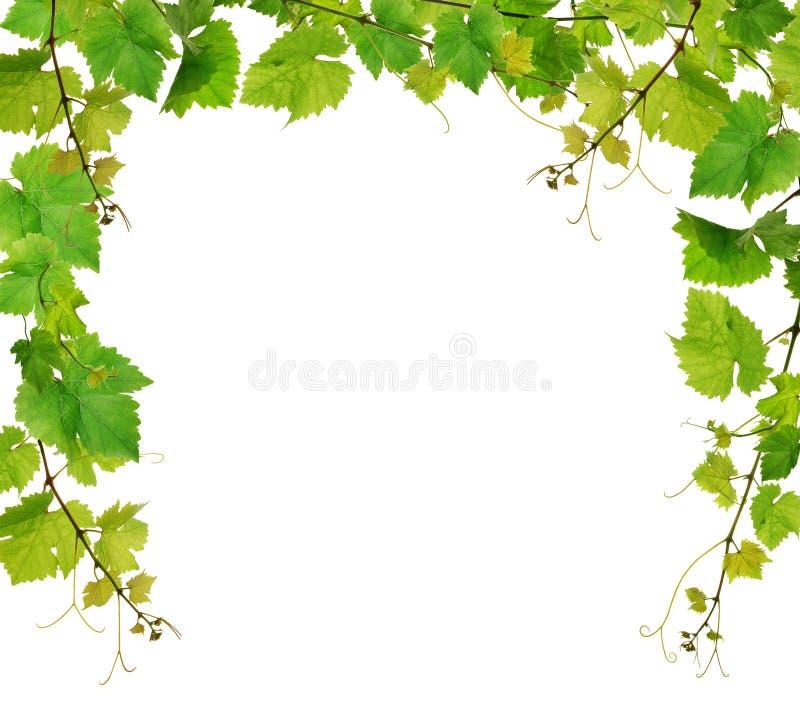 Verse wijnstokgrens stock foto