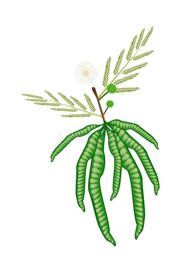 Verse Witte Popinac-Peul op Witte Achtergrond royalty-vrije illustratie
