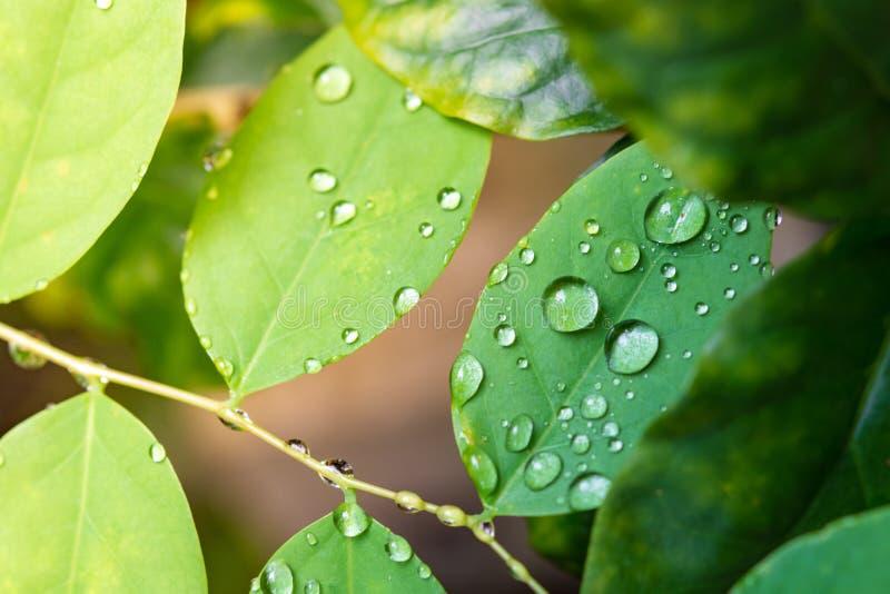Versheids groene bladeren met regendaling stock foto's