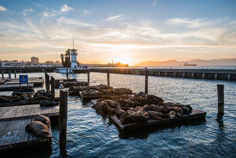 Versiegeln Sie (Meerlöwen) am Pier 39 von San Francisco mit verschönern gelben Sonnenuntergang über dunklem Meer stockfotos