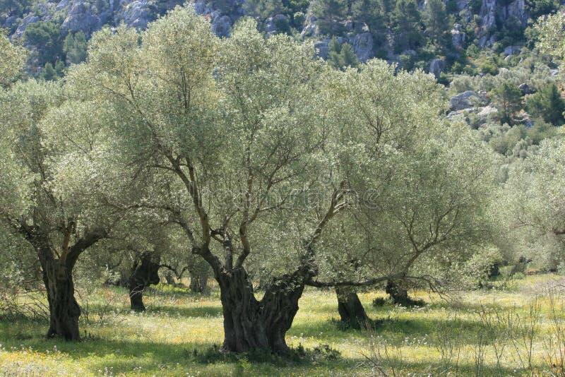 Versilbern Sie Olivenbaum stockbilder