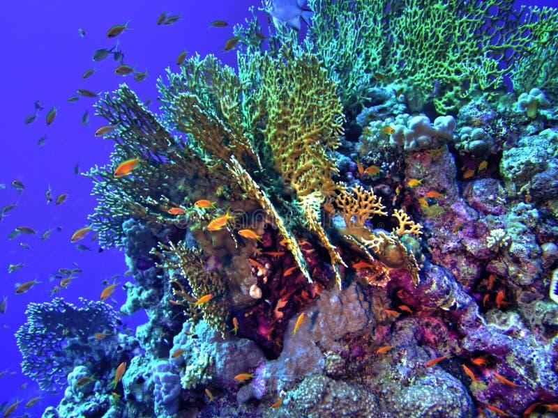 version för korallhdrrev arkivbild