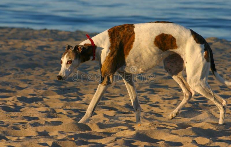 Verslagen hond die naar de camera kijkt royalty-vrije stock afbeelding