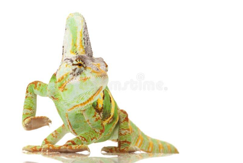 Versluierd Kameleon royalty-vrije stock foto