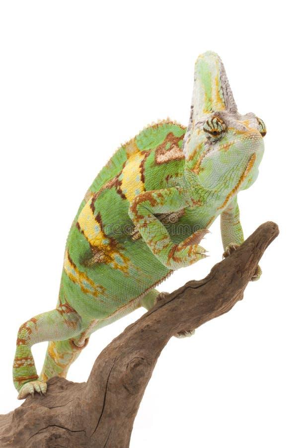 Versluierd Kameleon stock foto