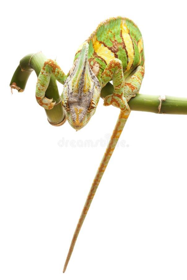 Versluierd Kameleon royalty-vrije stock fotografie