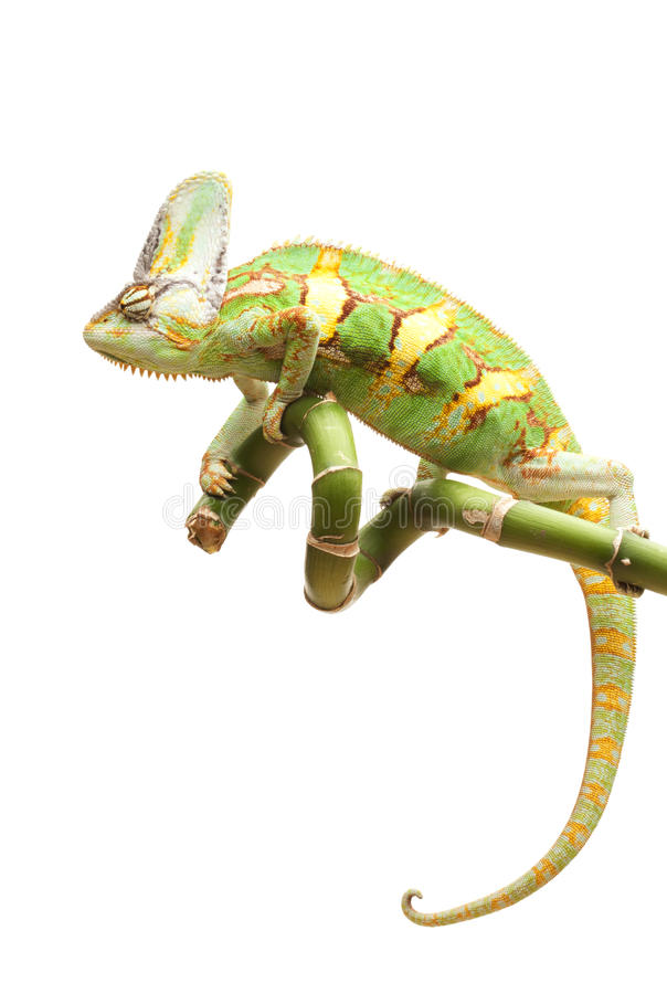 Versluierd Kameleon royalty-vrije stock afbeelding