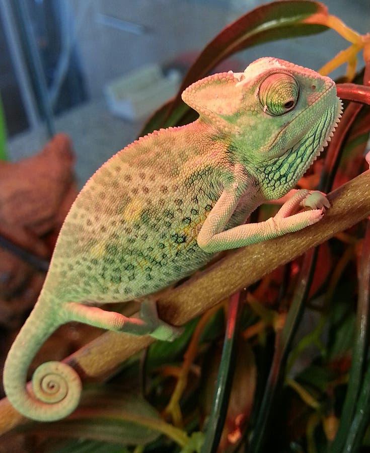 Versluierd Kameleon stock fotografie