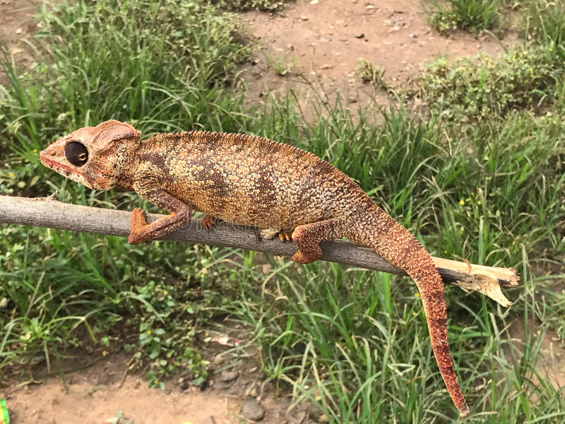 Versluierd Kameleon royalty-vrije stock foto's