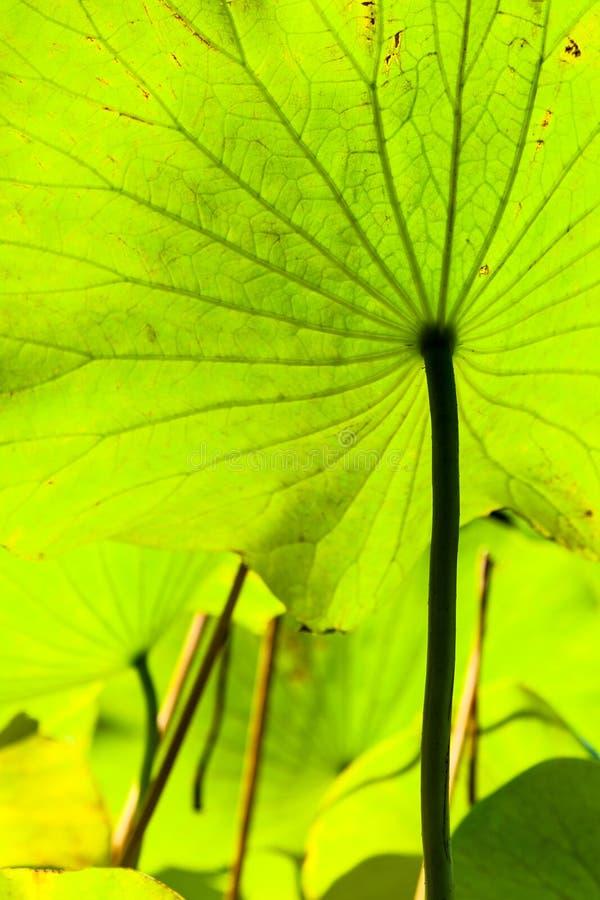 Verso da folha grande verde do fim dos lótus acima fotos de stock
