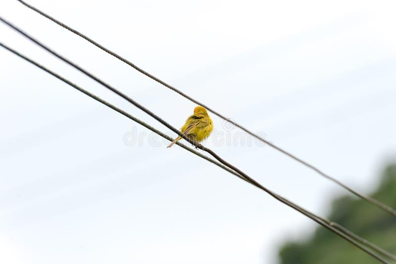 Verso do canário amarelo na linha elétrica fotografia de stock