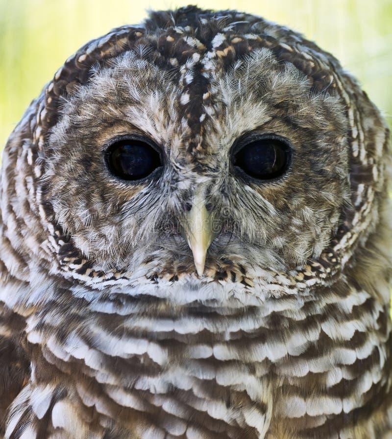 Versperd Owl Closeup royalty-vrije stock fotografie