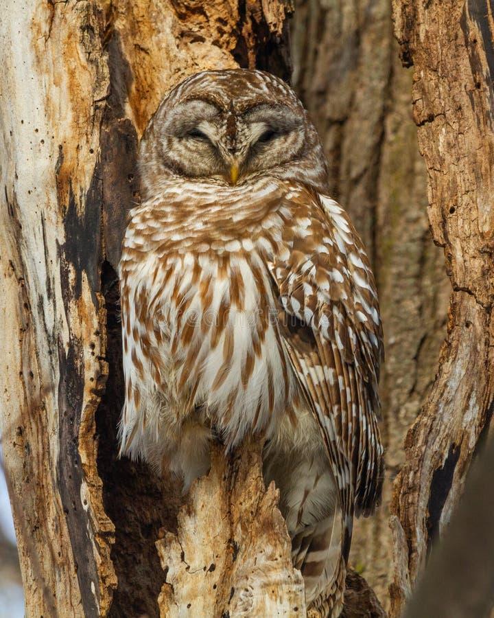 Versperd Owl Perched stock foto's