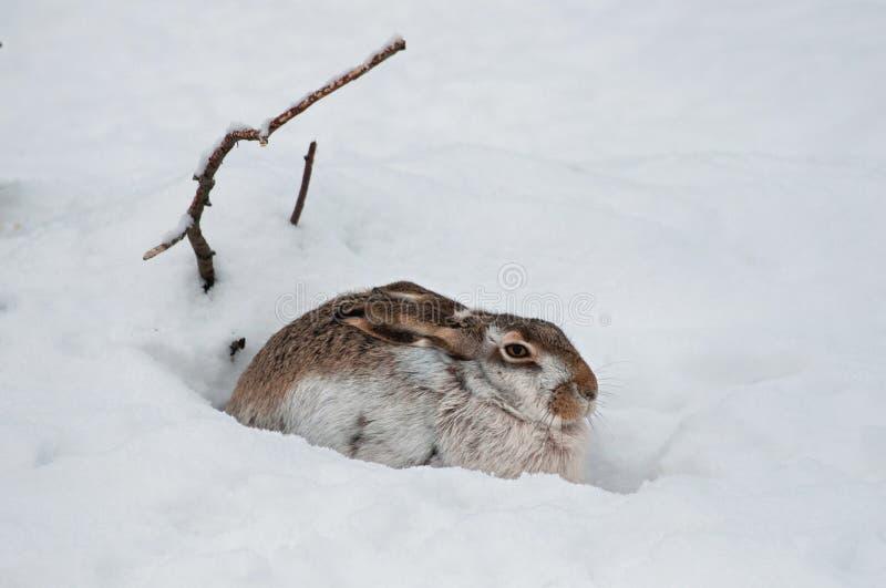 Versteckende Hasen Stockfotografie