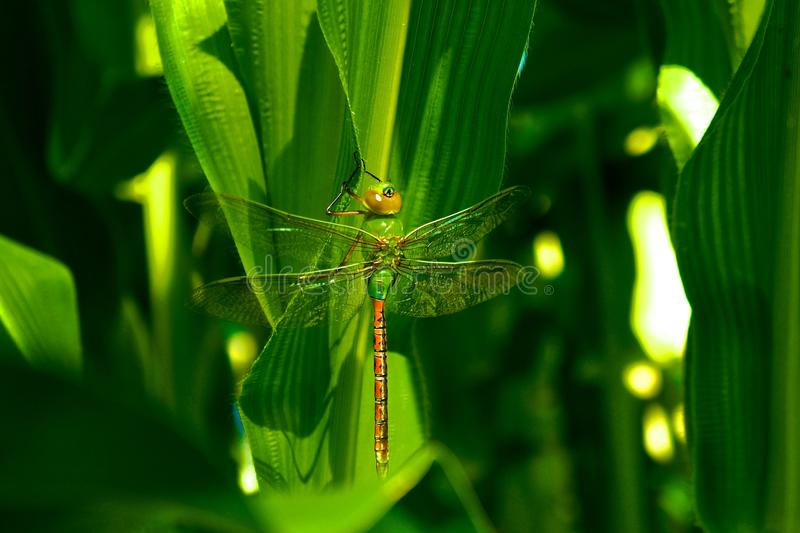 Versteckte Libelle stockfotografie