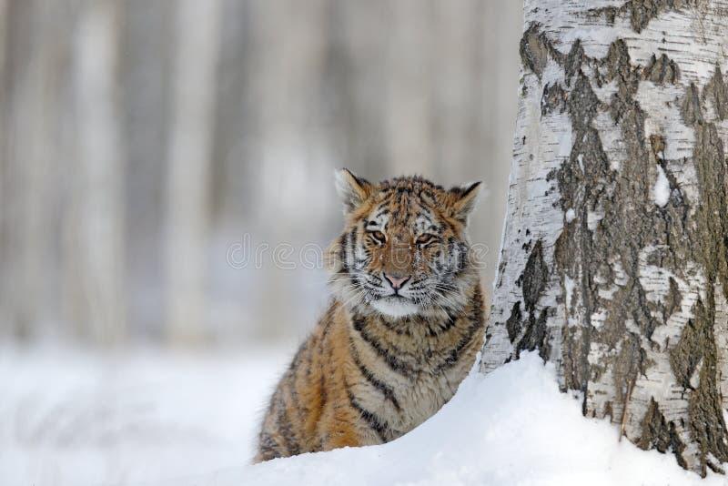 Versteckter Tiger mit schneebedecktem Gesicht Tiger in der wilden Winternatur Amur-Tiger, der in den Schnee läuft Szene der Aktio lizenzfreies stockfoto