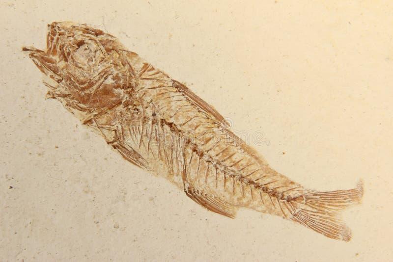 Versteinerte Fische stockfotos