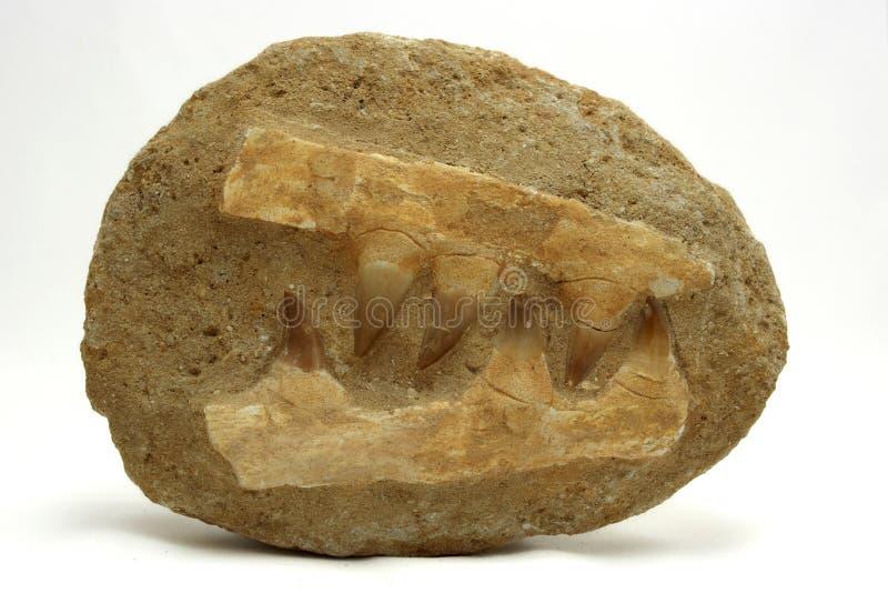 Versteinerte mosasaur Yaws stockfoto