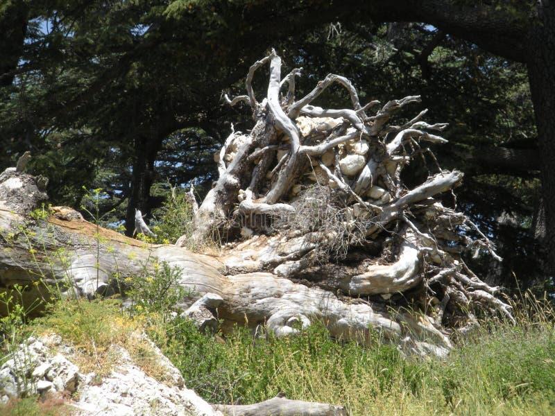 Versteinerter Baum, Wald der Zedern des Gottes, der Libanon stockfoto