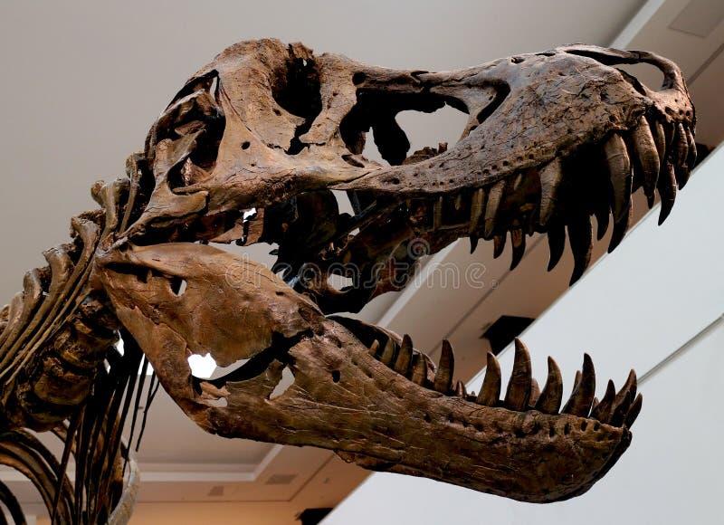 Versteinerter Schädel des Triceratops über Weiß lokalisiertem Hintergrund stockbild