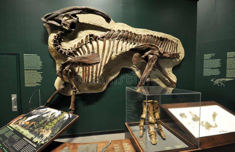 Versteinertes Skelett eines Dinosauriers lizenzfreies stockfoto