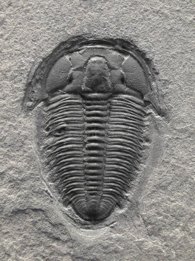 Versteinertes trilobite. stockfoto