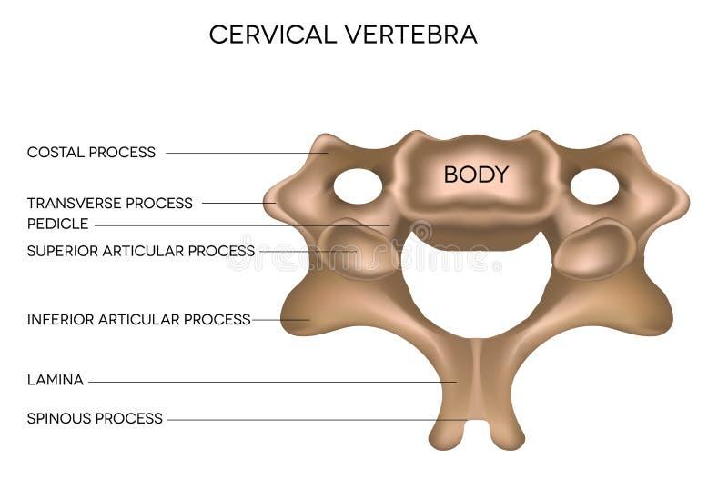 Vertèbre cervicale illustration de vecteur