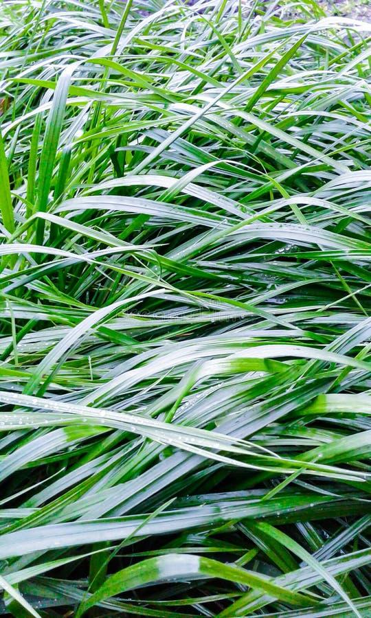 Vert d'herbe décoratif après une pluie photographie stock