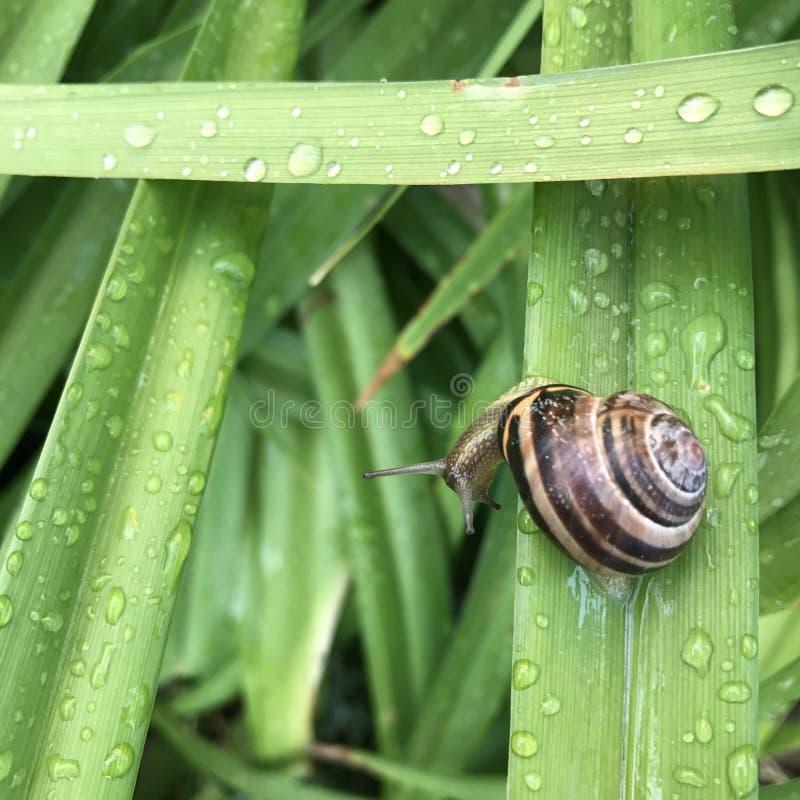 Vert d'herbe d'escargot photos libres de droits