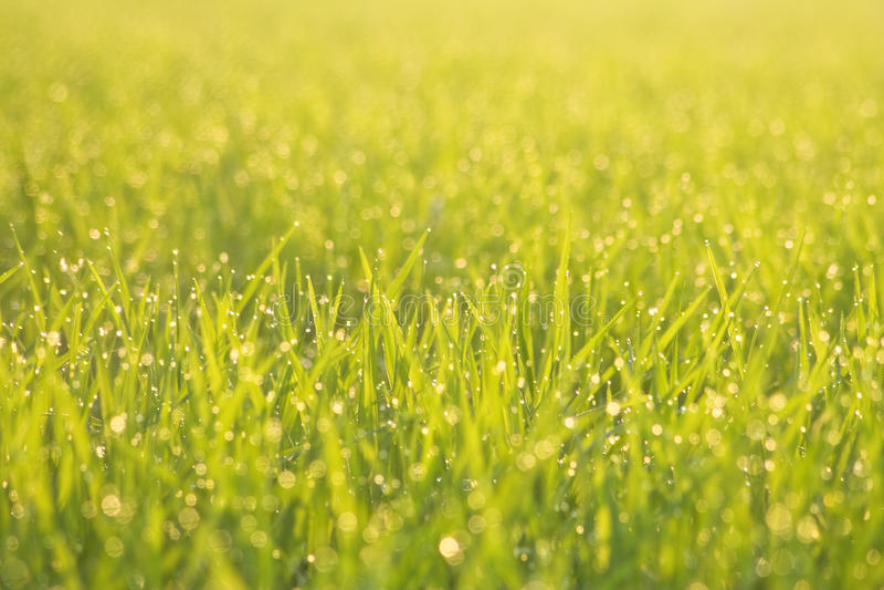 Vert d'herbe pendant le matin image libre de droits
