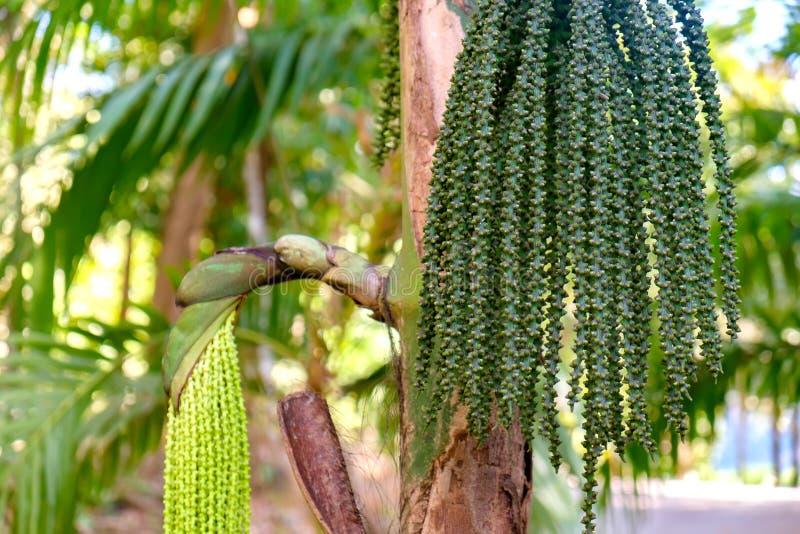 Vert de catechu de noix de bétel ou d'arec cru dans le groupe photographie stock
