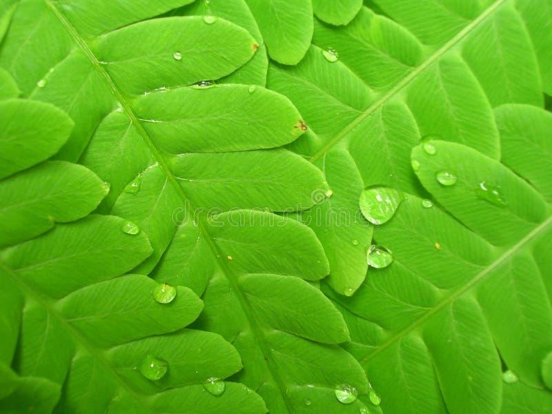vert de fougère images libres de droits