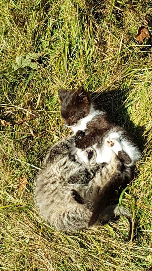Vert de Kitten Fight Gras de chats de chat images libres de droits