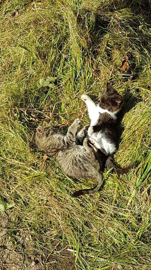 Vert de Kitten Fight Gras de chats de chat photos stock