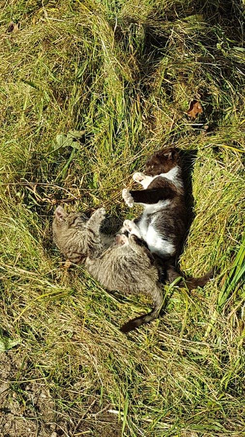Vert de Kitten Fight Gras de chats de chat photos libres de droits