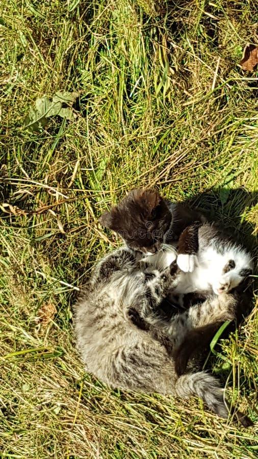 Vert de Kitten Fight Gras de chats de chat images stock