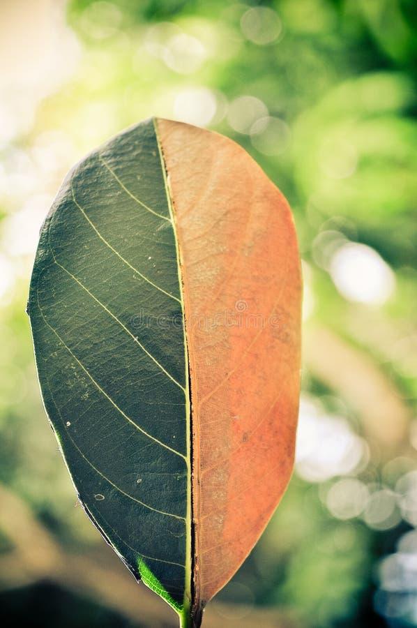 Vert de moitié et demi feuille sèche d'automne sur le fond de bokeh image stock