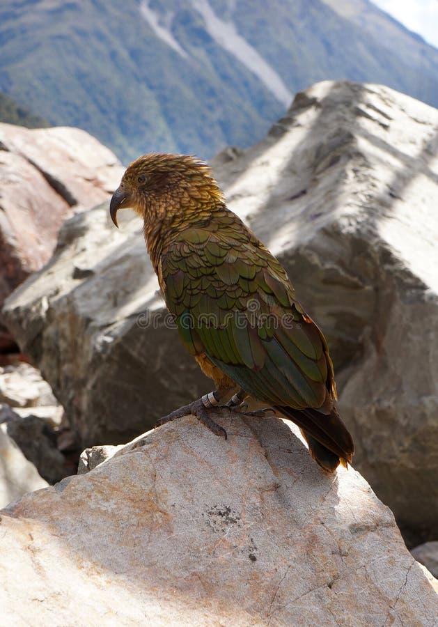 Vert de perroquet d'oiseau de Kea. Le passage Nouvelle-Zélande d'Arthur photographie stock