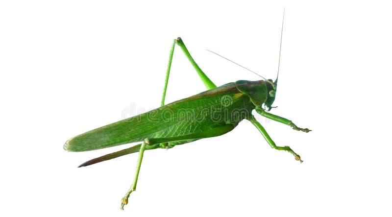 Vert de sauterelle sauterelle images stock