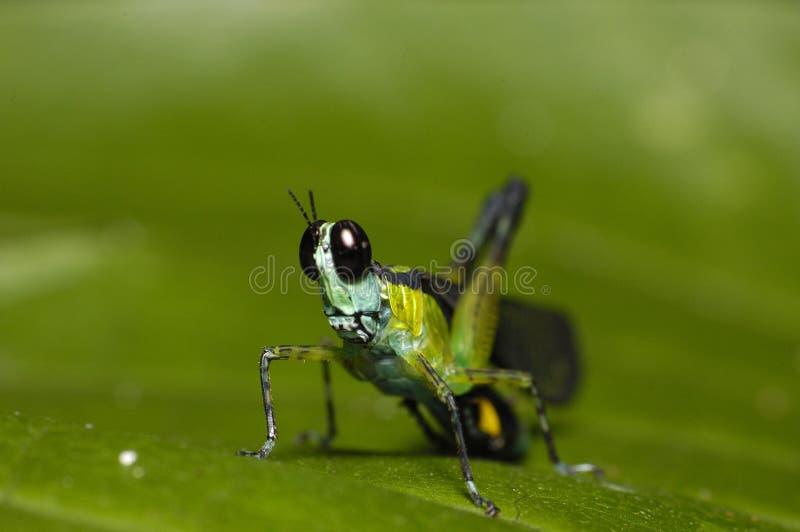 Vert de sauterelle photographie stock