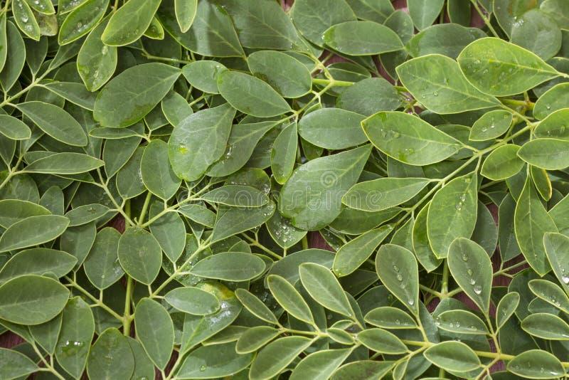 Vert et feuilles fraîches de moringa organique - moringa oleifera image stock