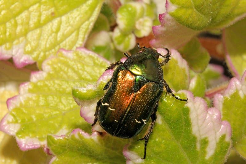 Vert et scarabée d'or (aurata de cetonia) images stock