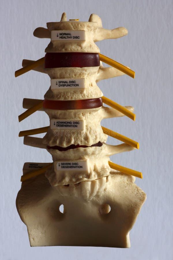 Download Vertabrae model stock image. Image of nerve, nervous - 12399321