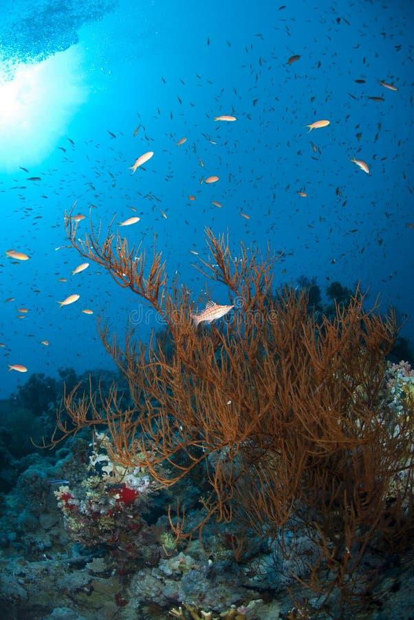 Vertakkend zwart koraal met een Longnose hawkfish. stock afbeeldingen