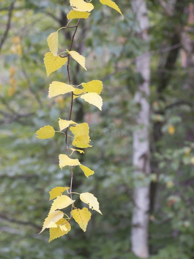 Vertakking met gele bladeren van een vogelboom royalty-vrije stock afbeeldingen