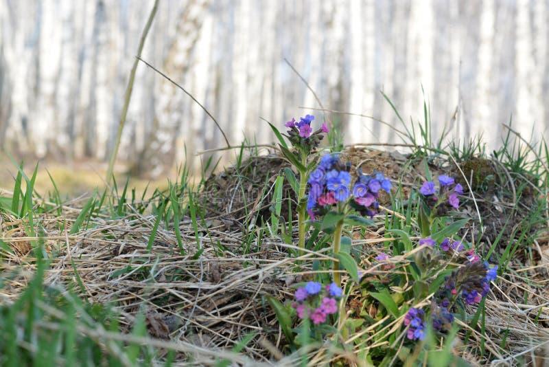 Vertakt bloeiwijzevergeet-mij-nietje, blauw close-up Vergeet-mij-nietje blauwe bloemen op de achtergrond van een berkbos royalty-vrije stock foto's