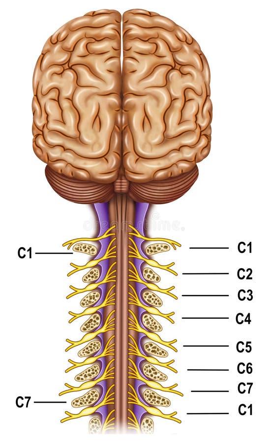 Vertebrae And Nerves Cervical Plexus Stock Illustration ...