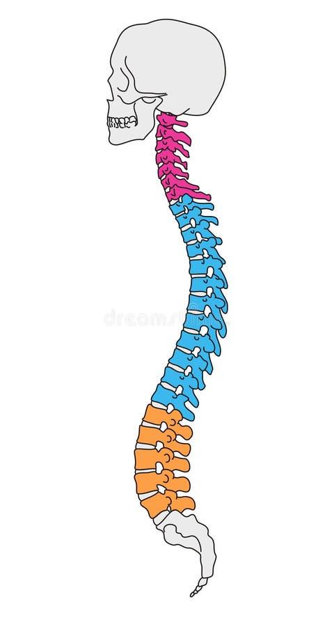 vertebral anatomikolonn vektor illustrationer