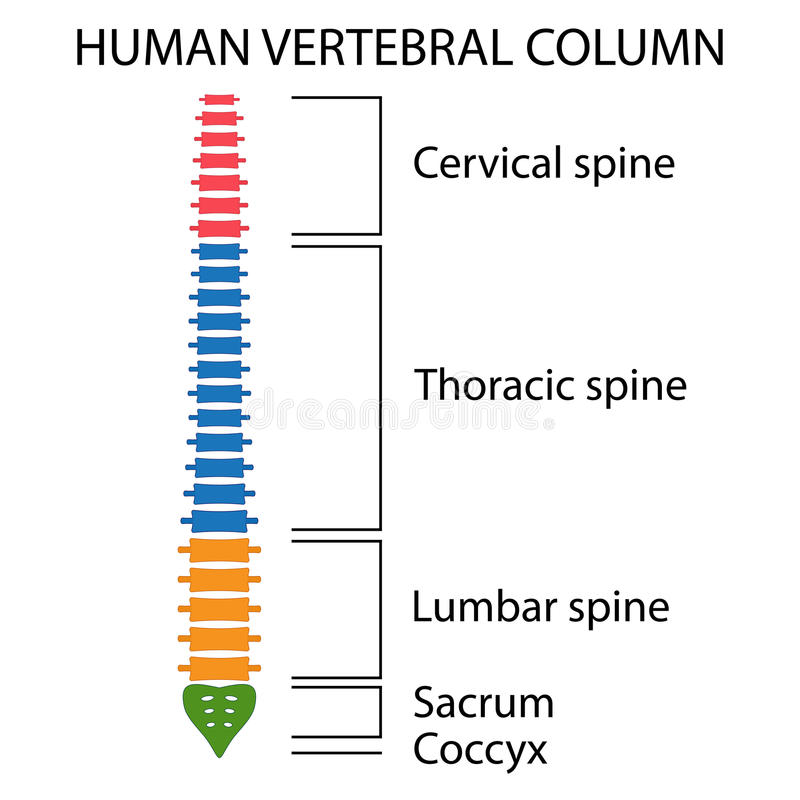 Vertebral Column spine structure. royalty free stock photos