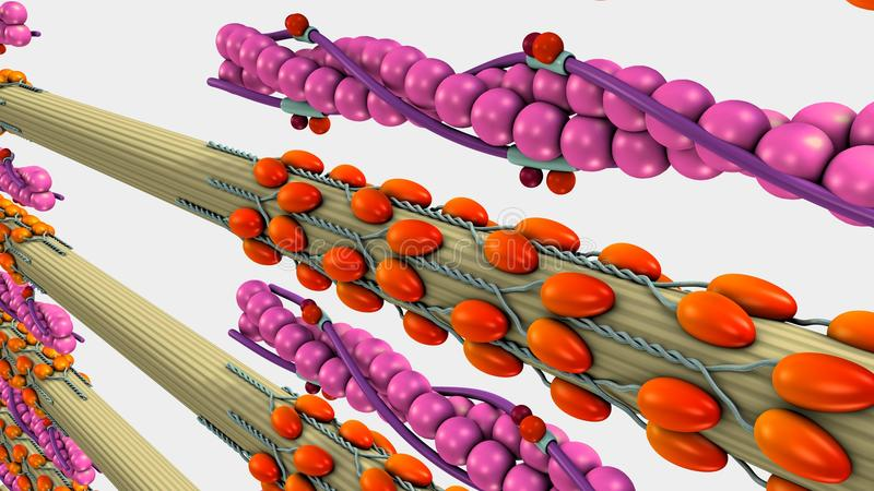 Muscle Contraction. Vertebrate striated muscle contraction is controlled regulated by the action of the proteins troponin and tropomyosin on the actin filaments royalty free illustration